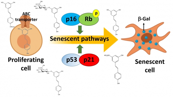Imagen blog de Conjugated Physiological Resveratrol Metabolites Induce Senescence in Breast Cancer Cells: Role of p53/P21 and p16/Rb Pathways, and ABC Transporters